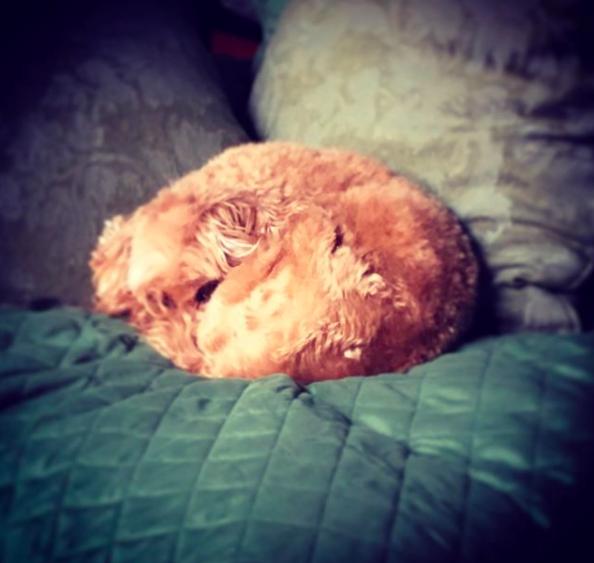 Dog or furry pillow? You decide. #love #furbabies🐾 #procrastination